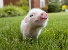 Pig smelling