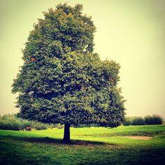 Eenzame en grote boom met wat paarden in Aardenburg.