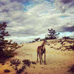 Greyhound Diesel in the sand dunes of cape cod, ma