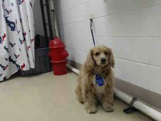 12/29/16 - HOUSTON HIGH KILL FACILITY IS OVER CAPACITY!! - BOBBY - ID#A474531 My name is BOBBY I am a neutered male, brown and white Cocker Spaniel. The shelter staff think I am about 6 years old. I have been at the shelter since Dec 23, 2016. This information was refreshed 10 minutes ago and may not represent all of the animals at the Harris County Public Health and Environmental Services.