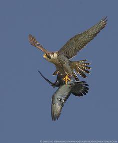 ˚Peregrine Falcon mid air kill