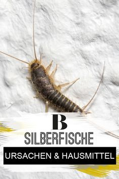 Silverfish: causes and helpful home remedies. Nobody likes silverfish in the kitchen, bathroom and cellar. You can find out where they come from and h Birthday Gifts For Boyfriend Diy, Boyfriend Gifts, Natural Disinfectant, Best Icons, Black Handbags, Good To Know, Home Remedies, Cleaning Hacks, Life Hacks