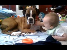 Boxer giving Baby Kisses - Why boxers are the best dogs for kids - YouTube