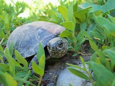 Turtle by Ellie Oprea Fine Art America, Turtle, Nature Photography, Wall Art, Pictures, Animals, Animales, Turtles, Animaux