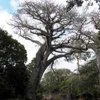 Baobab, Adansonia digitata, photo © Michael Plagens