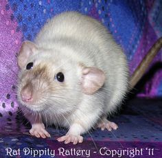 Need help convincing my mom to let me get a couple rats?
