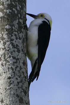 The White Woodpecker (Melanerpes candidus) is a species of woodpecker (Family Picidae) found in South America. This woodpecker is a native of the grasslands of Brazil, Bolivia, Paraguay, Uruguay and Argentina.