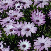 African Daisies!! Had these last year