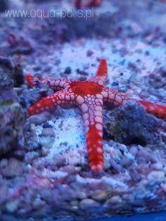 Fromia monilis Octopus, Animals, Animaux, Animal, Calamari, Animales, Squidbillies, Octopuses, Animais