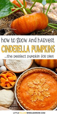 Cinderella pumpkins are indeed the best pumpkins to grow in your garden. I am very adamant about this for numerous reasons. They are great for cooking and also perfect for pumpkin carving during the fall season. Pumpkin Garden, Green Pumpkin, Best Pumpkin, Autumn Garden, Pumpkin Pumpkin, Summer Garden, Container Gardening Vegetables, Planting Vegetables, Growing Vegetables