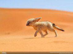 Beautiful Fennec Fox in its natural habitat
