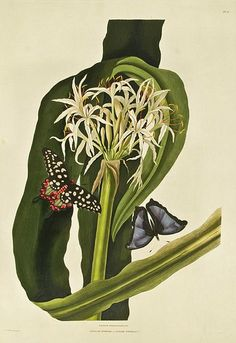 Priscilla Susan Falkner Bury    Hexandrian Plants    1831-34.