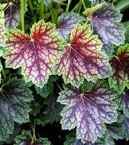 heuchera americana dales strain. Use for shady borders and ground cover. Plant in partial or full shade
