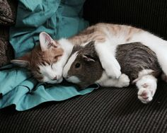 animals, cat, cute, guinea pig, love