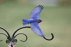 Eastern Bluebirds in flight - SecondCousinDave