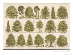 Chart of British Forest Trees Giclee Print at AllPosters.com