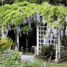 Full Sun Wisteria Best Climbing Plant For Shade , The Best Climbing Plant For Shade In Landscaping And Outdoor Building Category