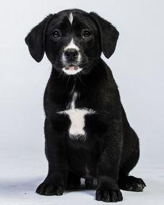 #adoptdontshop Zinfandel Labrador Retriever Mix • Baby • Male • Large Greater Charlotte SPCA Charlotte, NC