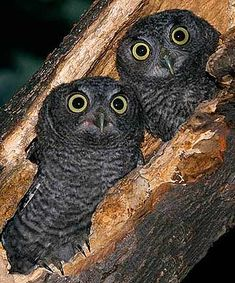 As for owls being wise, they have not proven to be as smart as crows and ravens for example.