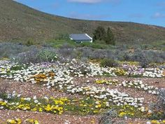 Namaqualand Dilly Dilly, Botanical Prints, Homesteading, Stepping Stones, Wild Flowers, South Africa, Backyard, August 2014, Mountains
