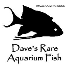 Dave's Rare Aquarium Fish: sells fish online - ships live - highly recommended!