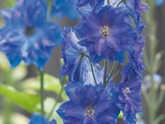 Red, White and Blue Flowers for your Garden - Blue Delphiniums >> http://www.hgtvgardens.com/photos/flowerworks-red-white-and-blue-flowers?s=15=pinterest