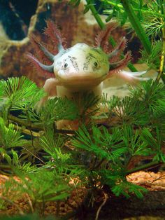 Axolotl. They reach a mature, reproductive capacity in a juvenile body shape, because their hormone DNA is all mixed up. Weird and fantastic.