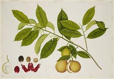 Nutmeg Scientific drawing, shows the seed, fruit, seed, etc
