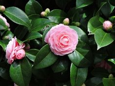 """This is a how-to article on growing camellia flowers from cuttings. If you have a beautiful camellia plant, you can actually """"clone"""" it! Shade Plants, Cool Plants, Camellia Plant, Plant Information, Flower Landscape, Landscaping Plants, Patio Plants, Plantation, Cool Landscapes"""