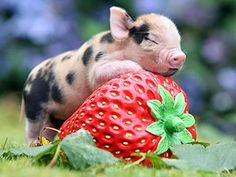 micro pigglet (8 oz born)...it's hugging a regular sized strawberry!  grows up to be the size of a springer spaniel...I want one!!!!!!!!!!!!!!!