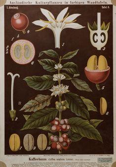 Kaffeebaum (Coffe arabica L.)