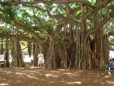 Hawaiin Tree-I was there!!