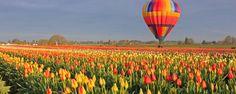 tulip-fest-gallery1