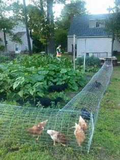 How to Build a DIY Backyard Chicken Tunnel: