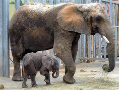 Cent cinquante-cinq kilos et 90 cm au garrot, Rungwe, premier éléphanteau né d'une insémination artificielle en France, a fait lundi ses premiers pas devant les visiteurs du zoo de Beauval (Loir-et-Cher).