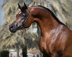 Johanna Ullström - ArcticTern Training Center - Arabians horses training