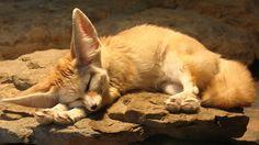 fox Fenech