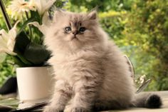 British longhair seal golden tabby point