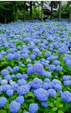 "Unshoji Temple雲昌寺AkitaUnshoji, the Buddhist temple in Kitaura, Oga, is called ""the hydrangea temple"". Hortensia Hydrangea, Hydrangea Care, Hydrangea Flower, Hydrangeas, Amazing Flowers, Blue Flowers, Beautiful Flowers, Hydrangea Landscaping, Garden Landscaping"
