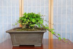 Common Ivy Bonsai Tree (Hedera helix) with New Growth after Hard Pruning | Flickr - Photo Sharing!