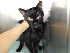 **TO BE DESTROYED 11/30/16**  SWEET SENIOR BONNIE NEEDS YOU TONIGHT!! BEGINNER RATED!  A volunteer writes: I don't know what kind of life petite Bonnie used to have. But one thing's for sure: she was shown true love by humans somewhere along the way. How else to explain why a cat who looks like she's been through so much is still so incredibly affectionate, gentle, and calm? When I met her Bonnie the other day, she immediately bowed her head for pettings and head-butted me in return. She…