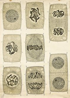 Mandarin Chinese in Disguise---Visualising the Cell Nucleus -- Anatomia Vegetal 1929, pub. by FE Wachsmuth a