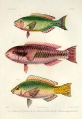 dussumieri, pseudoscarus forsterni, pseudoscarus hypselopterus - high resolution image from old book. Rare Fish, Oriental, Fishing Pictures, Fish Print, Pacific Ocean, Portrait, Prints For Sale, Animals, Marine Biology
