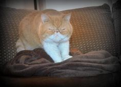 Snuggie luv. Animals, cute, smiling, happy, ginger, exotic shorthair, flat face, cats, pets.
