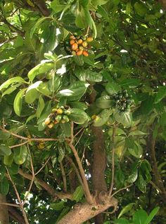 Karaka (Corynocarpus laevigatus), a hardy tree with large glossy leaves and orange fruits, is found in coastal forests of the North Island and northern South Island, and on the Chatham Islands. Before people arrived in New Zealand, it probably only grew in the northern North Island. Māori cultivated and spread the plant after learning how to make the poisonous fruits edible.