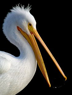 American White Pelican  Lake Merritt, Oakland, California. (First designated wildlife sanctuary in North America,1870) photo by Jerry Ting on flickr