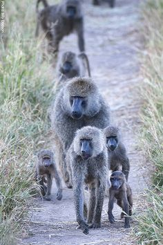 Baboons are some of the world's largest monkeys. There are five species of baboon scattered across various habitats in Africa and Arabia—olive, yellow, chacma, Guinea, and hamadryas.
