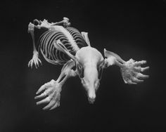 Skeletal structure of a mole, with shovel-shaped hands and wedge-shaped skull, giving the mole perfect tunneling tools, Andreas Feininger. Skeleton Muscles, Skeleton Bones, Skull And Bones, Animal Skeletons, Animal Skulls, Mole, Skull Reference, Animal Anatomy, Animal Bones