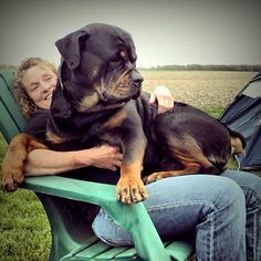 That is one HUGE rottweiler