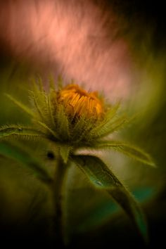 a flower bud - pink and green Pink Olive, Olive Green Color, Peach And Green, Green And Brown, Color Photography, Nature Photography, Photography Flowers, Sunflower Pictures, Beautiful Fruits